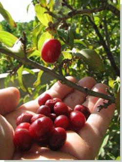 Каталог садовых культур Кислицына А. А. (город Кемерово)